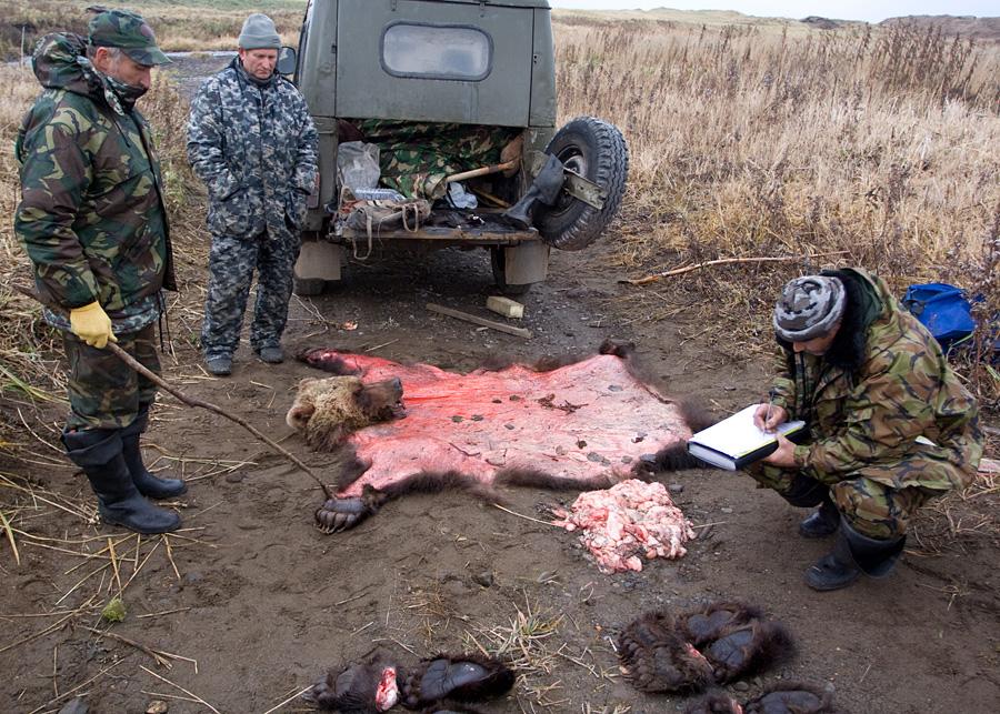 браконьерские способы ловли медведя