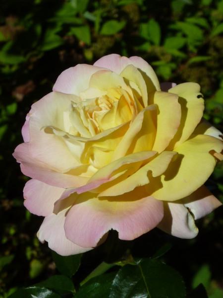 roza-03