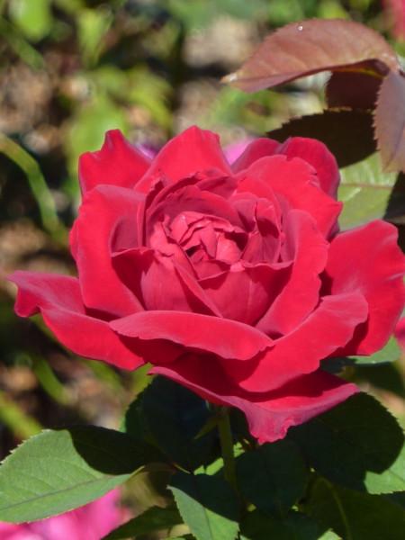 roza-01