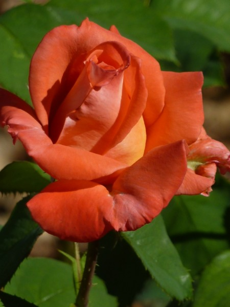 roza-02