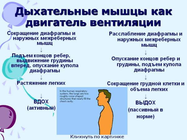 0012-012-Dykhatelnye-myshtsy-kak-dvigatel-ventiljatsii