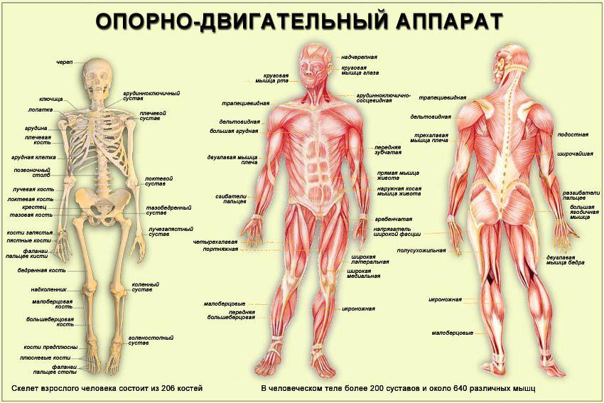 sustavy_cheloveka_3