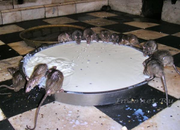 Deshnok-rats