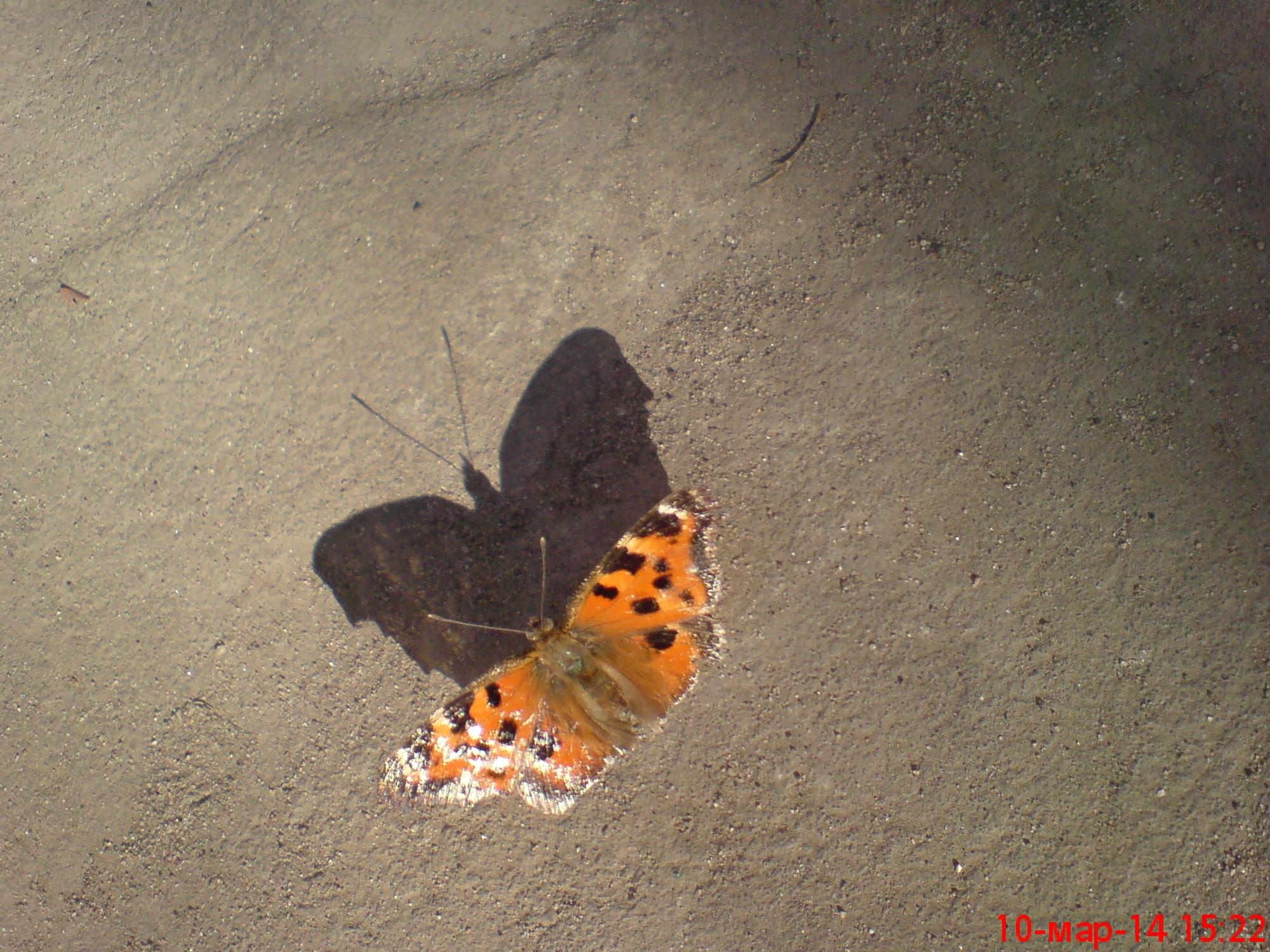 бабочка в Останкинском