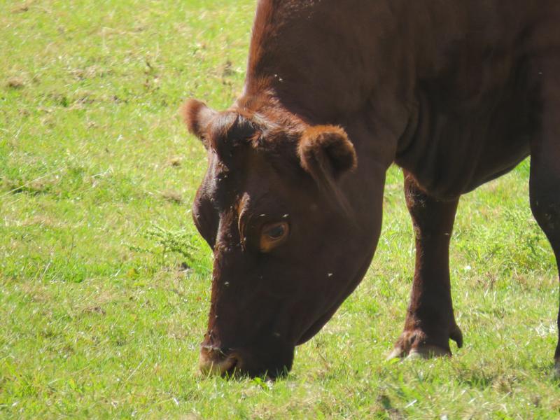 корова (1)
