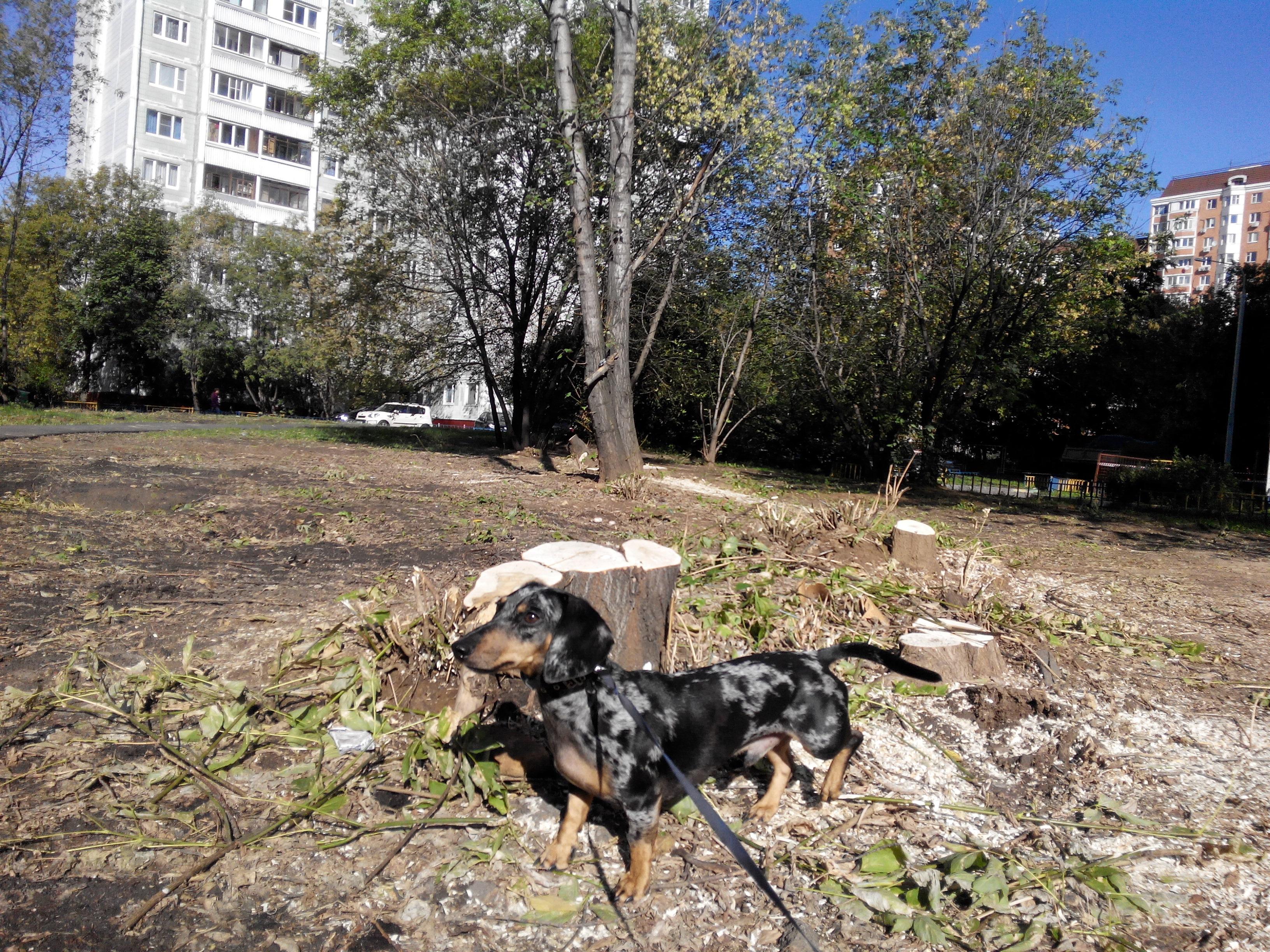 вырубили деревья (1)
