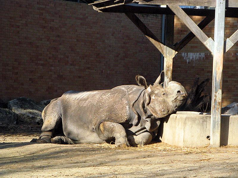 носорог1