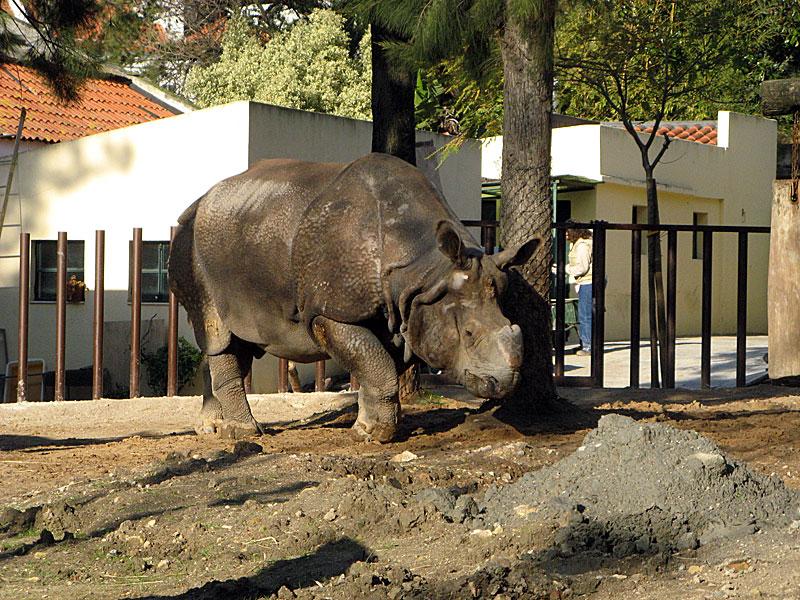 носорог2
