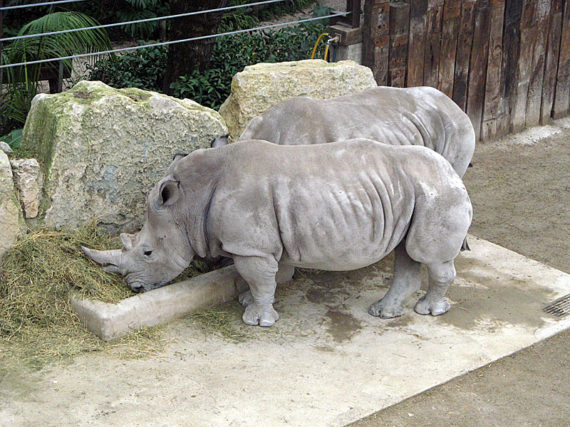 носорог3