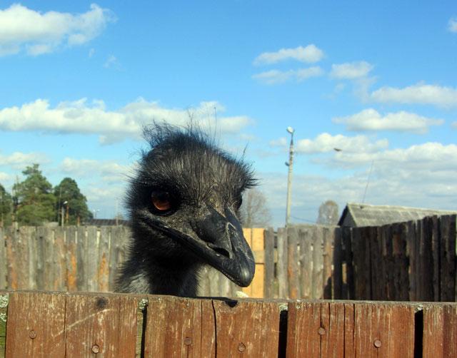 страусы2
