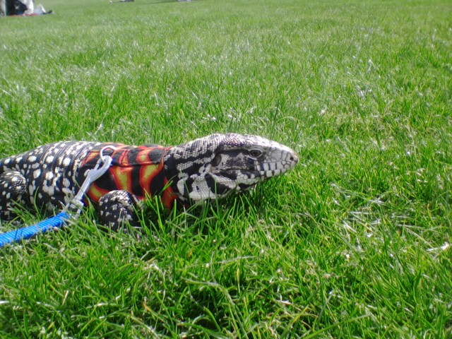 Update on my tegu Link, and his enclosure | Page 2 | Tegu Talk