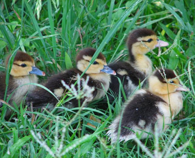 Dewy Ducklings