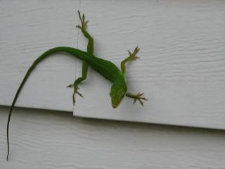 House Chameleon