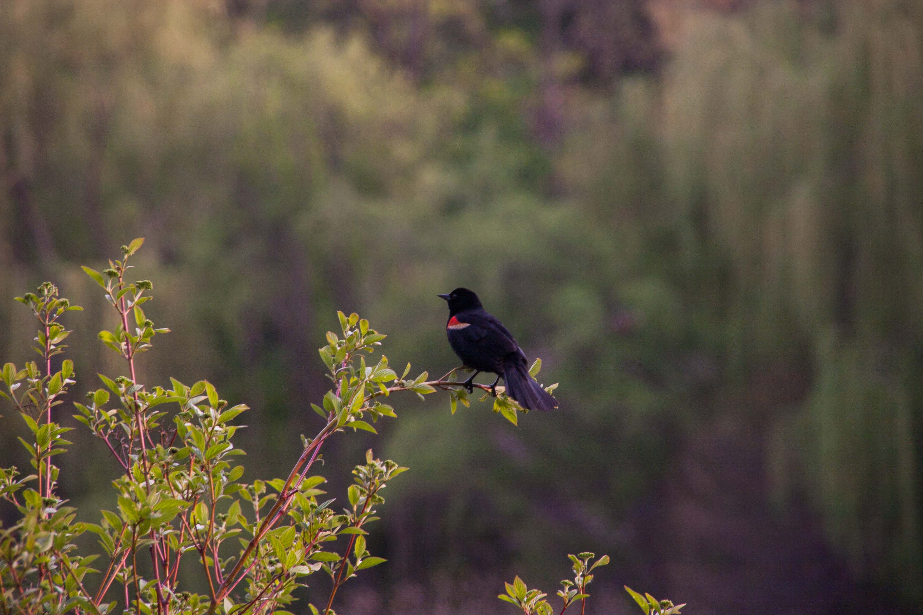 black bird with red primary spot, adjusted to normal but still dark colours