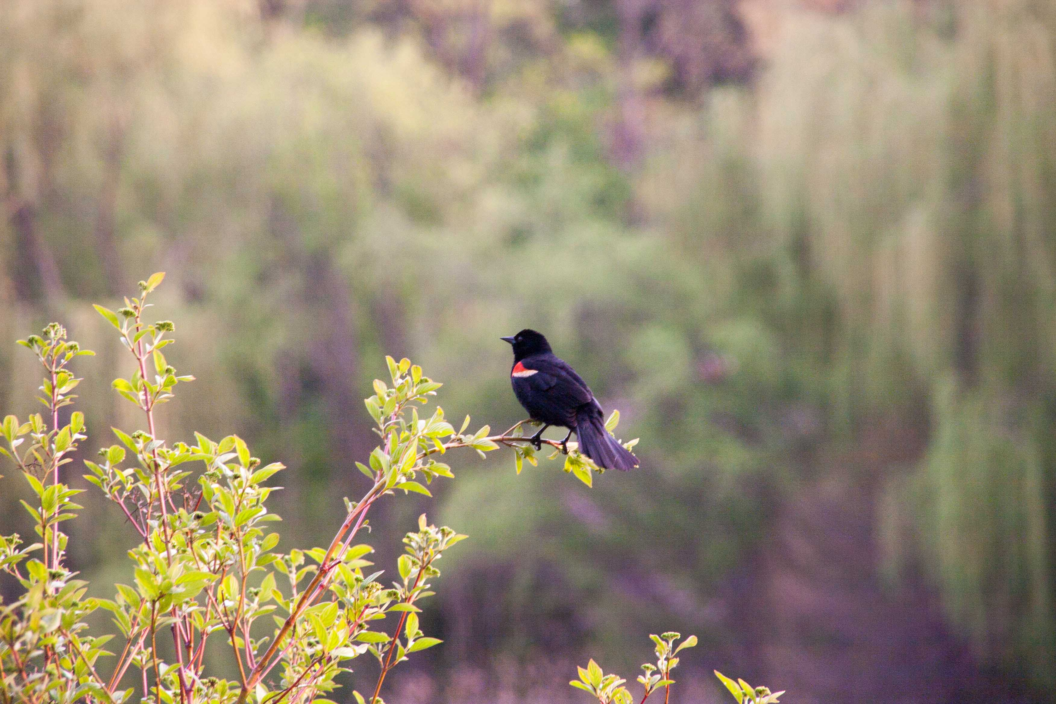 black bird with red primary spot, bright picture with candy-floss like leaves
