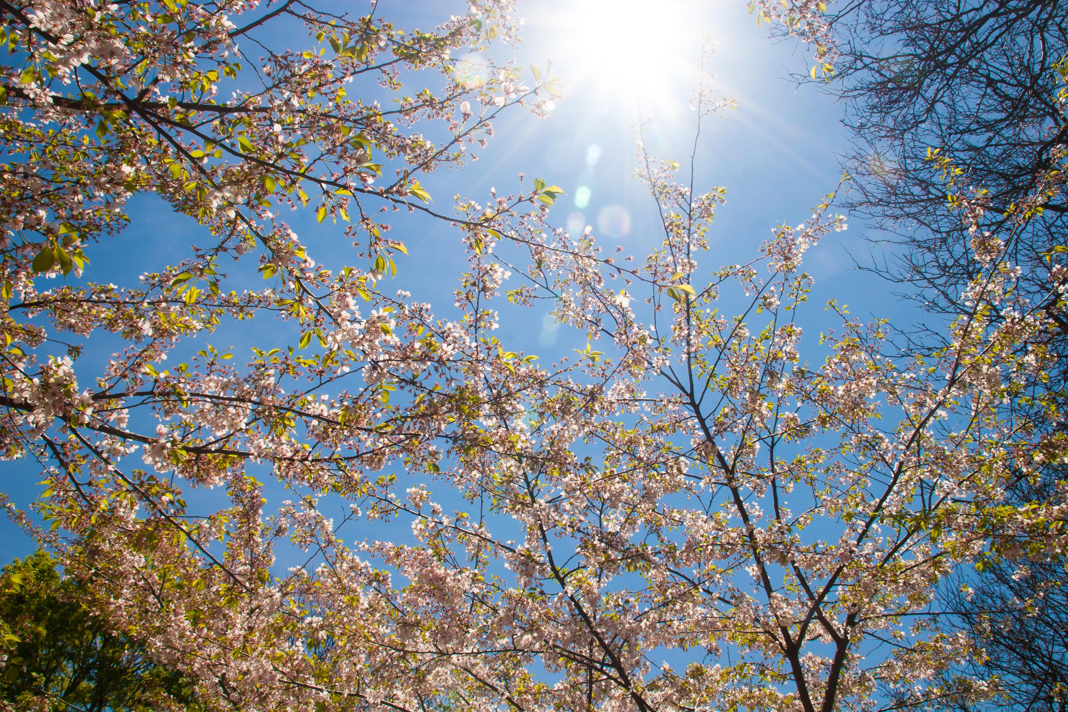 picture of sun-drenched cherry tree branches, looking up