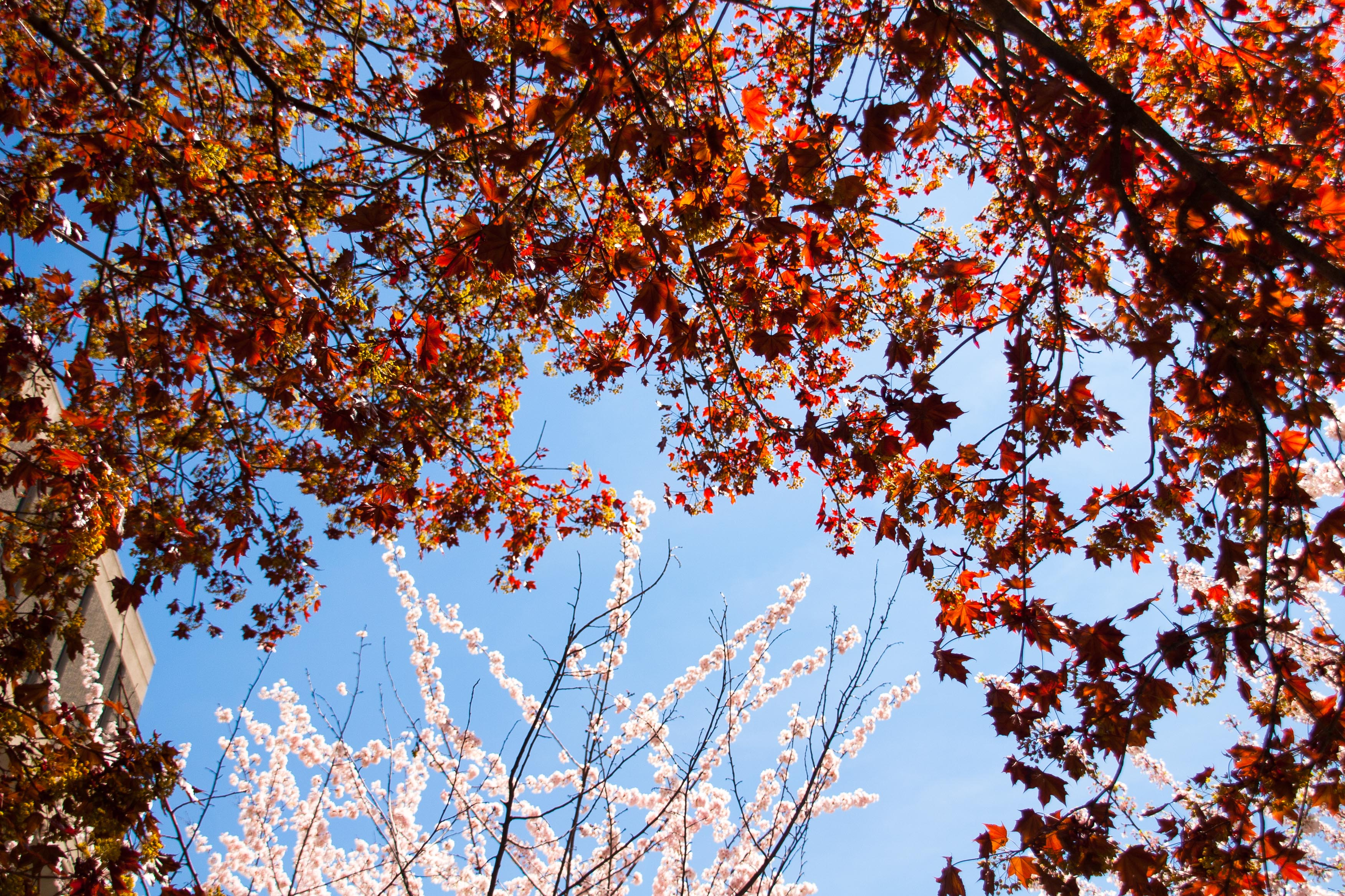tree branches - red leaves almost encircling cherry blossoms which appear in the top half of picture