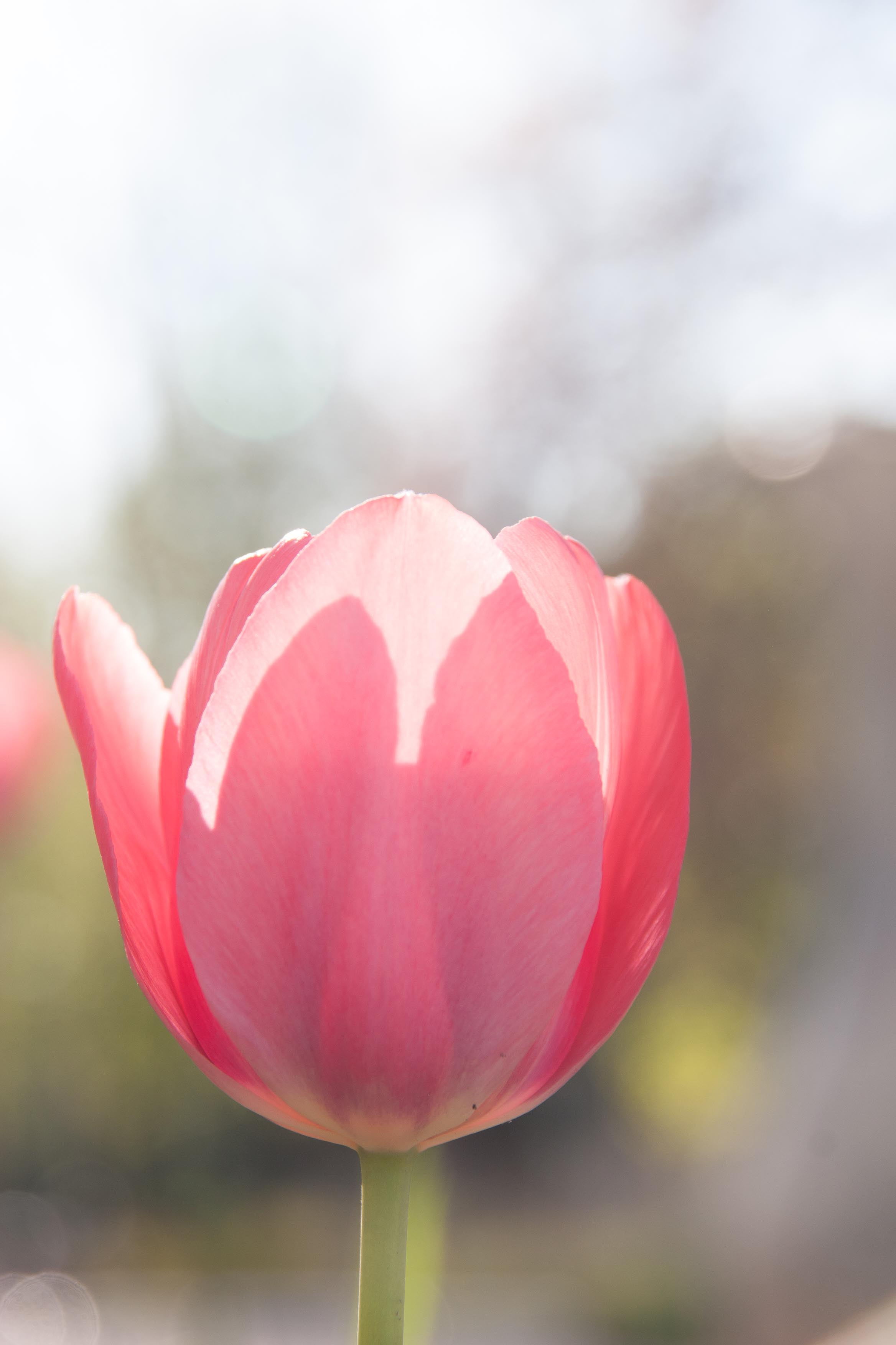 single pink tulip with soft-focus background