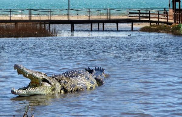 Активны ли крокодилы в российских реках?