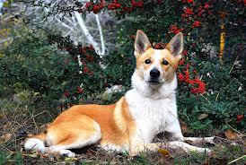 ханаанская собака8