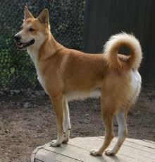 ханаанская собака9