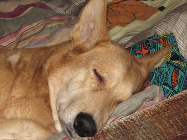ханаанская собака15