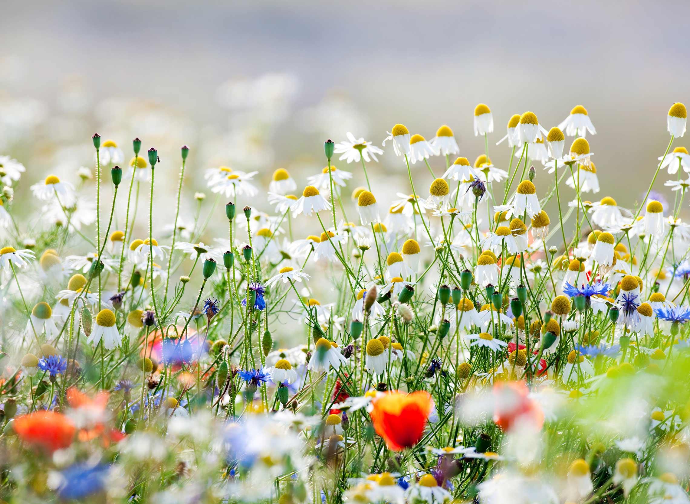 Nature-Daisies.jpg