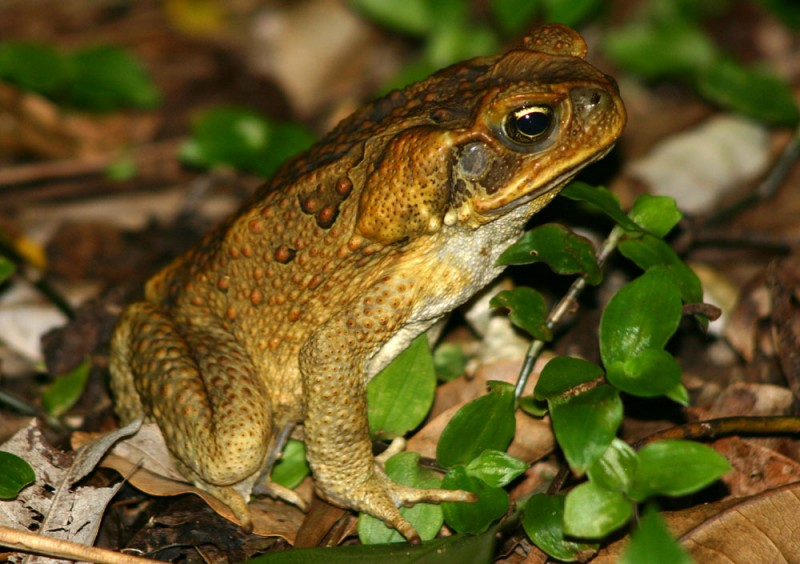 Cane-Toad-Photos.jpg