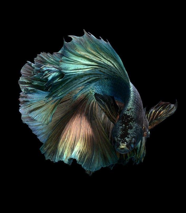 Тайский фотограф Визарут Ангкатаванич делает прекрасные снимки водной фауны. Здесь - Бойцовые рыбки, или Сиамские петушки.