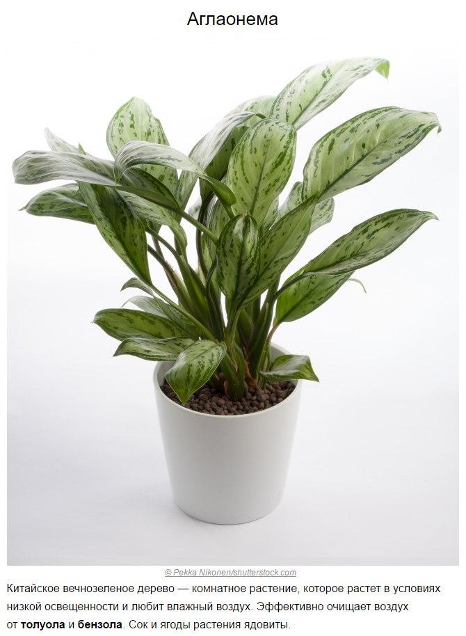 Топ-10 растений для очистки воздуха по мнению NASA4