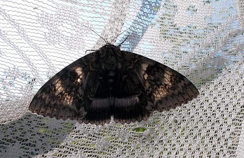 бабочка на шторке