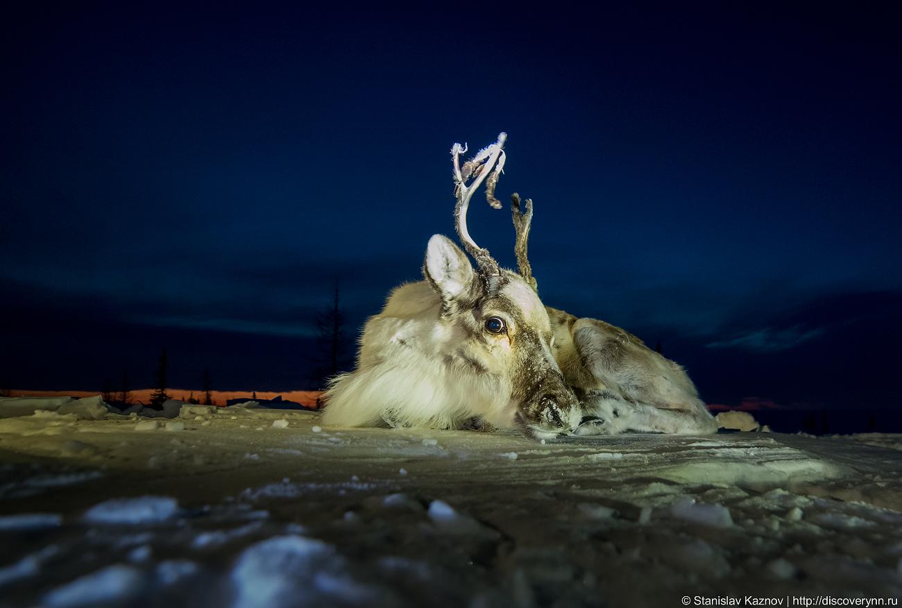 Как разделывают оленя на Ямале (18+)
