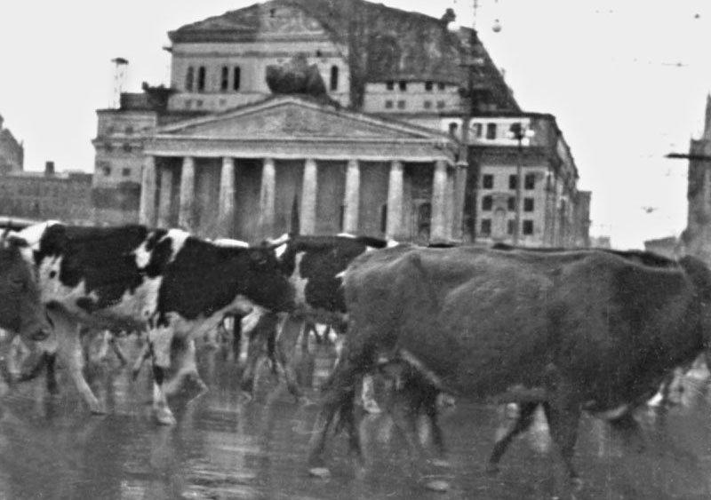 Массовая эвакуация скота через Москву. Осень 1941 г