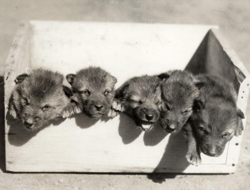 Волчата в зоопарке Сан-Франциско, США, 1933.