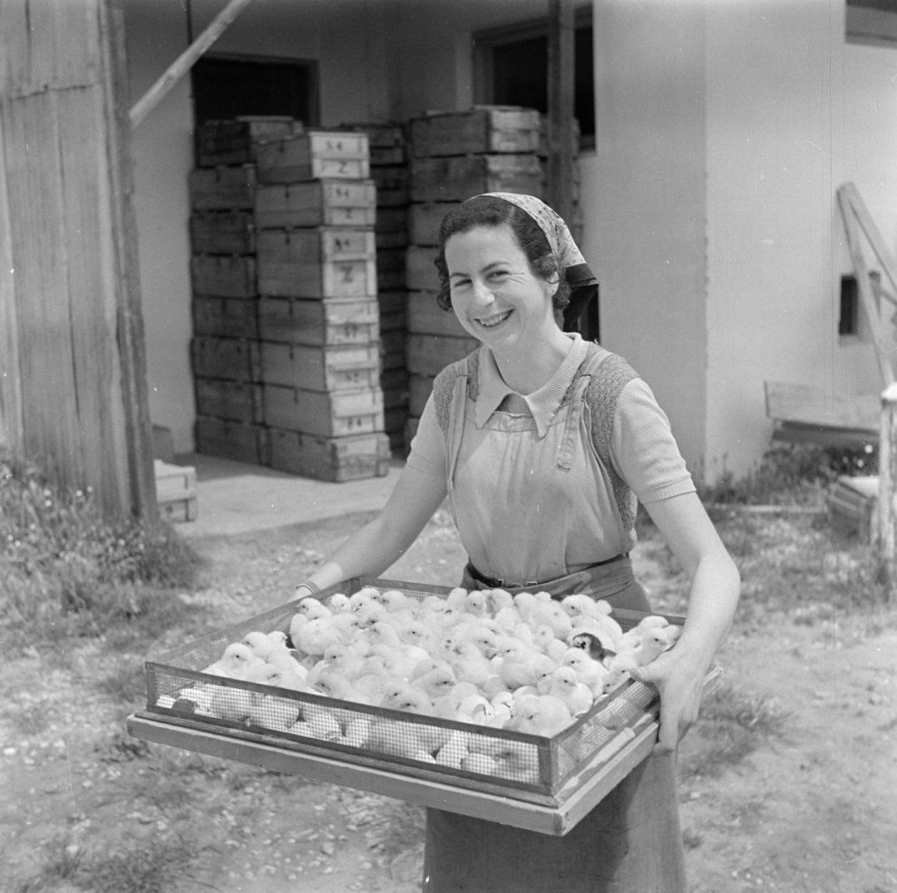 Цыплята на птицефабрике в Израиле, 1948.