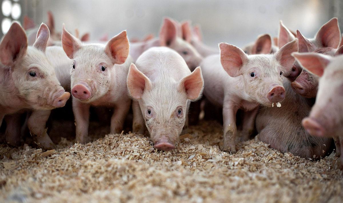 Производство свинины в России в 2016 году