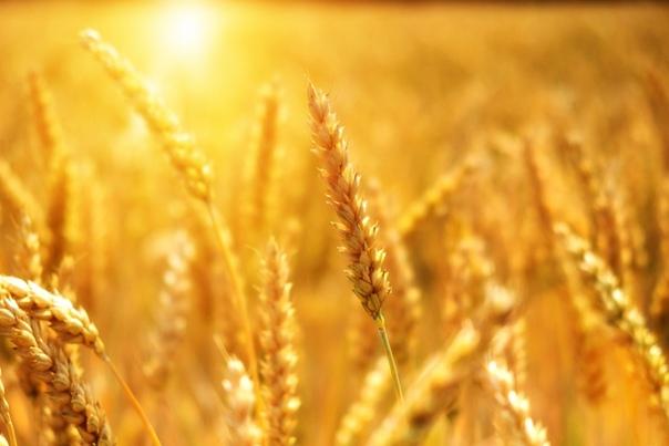 Минсельхоз: Квота на экспорт зерна из России выбрана в полном объеме
