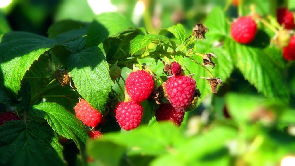 В 2019 году площадь многолетних плодовых и ягодных насаждений увеличилась на 7,1 процент