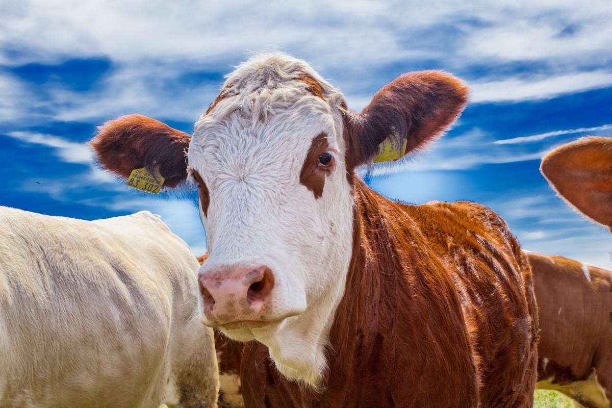 Рейтинг ТОП-20 крупнейших животноводческих хозяйств России по поголовью крупного рогатого скота по итогам 2019 года