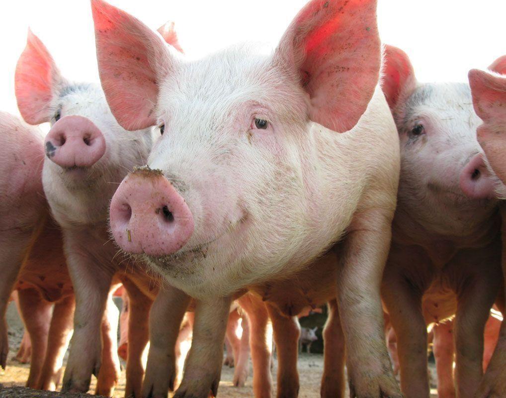 Крупнейшие производители свинины в России в 2020 году