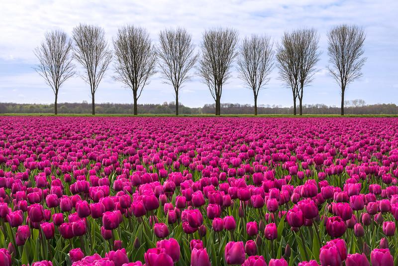 ТюльпаныГолландии.jpg