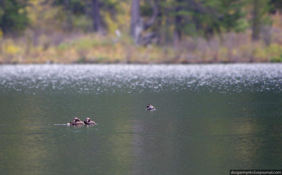 утки на Каракольских озёрах Алтай фото