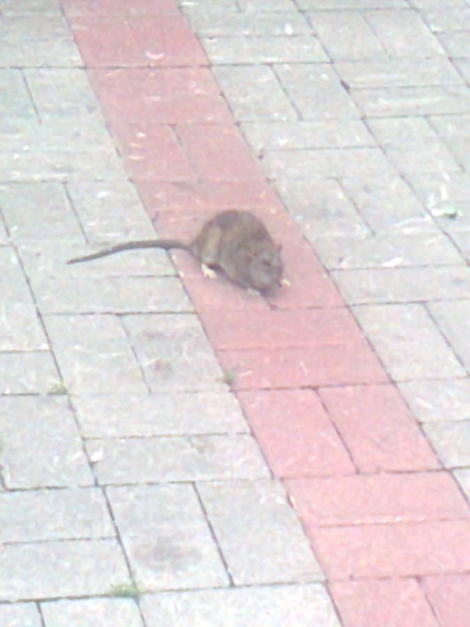 Крыса Пыхтыревой