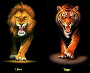 Lion-Tiger-1