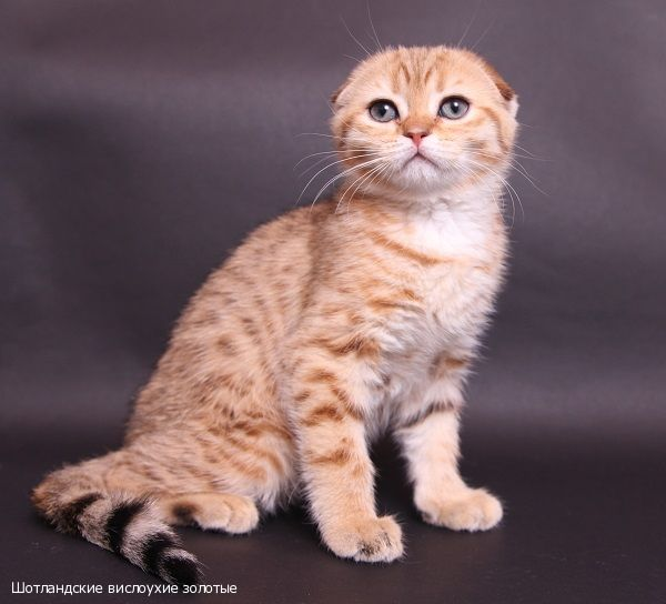Кот без ушей фото