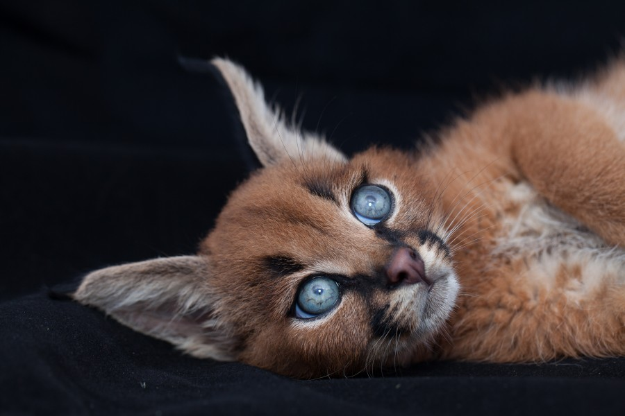 caracal-kittens-9-weeks-11