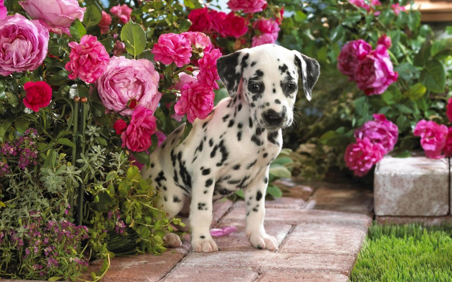 Animals___Dogs_Dalmatian_hiding_in_the_flowers_048168_