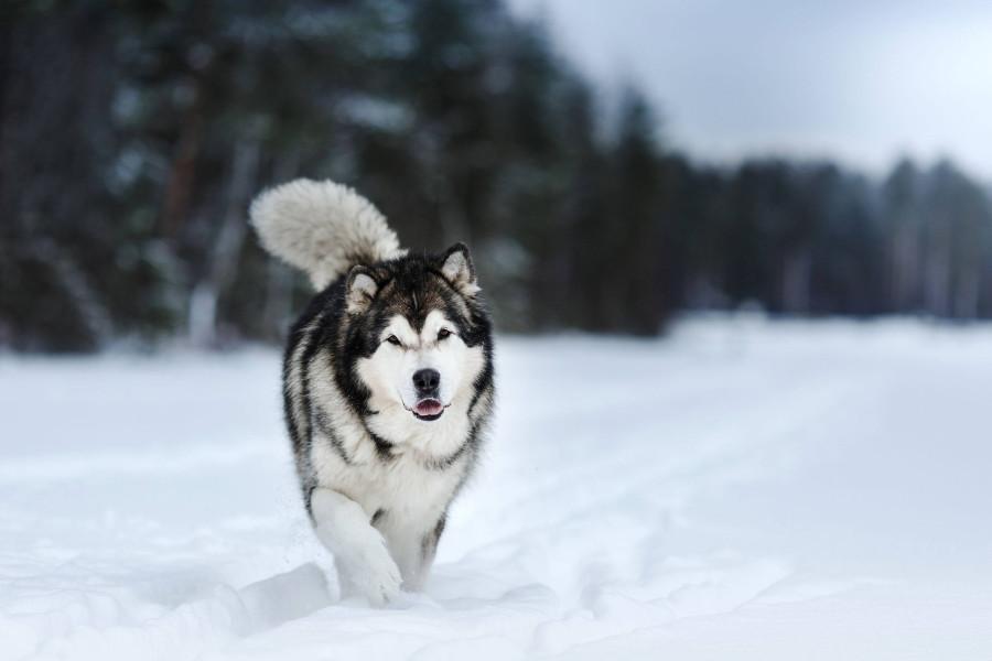 Alaskan-Malamute-vs.-Siberian-Husky