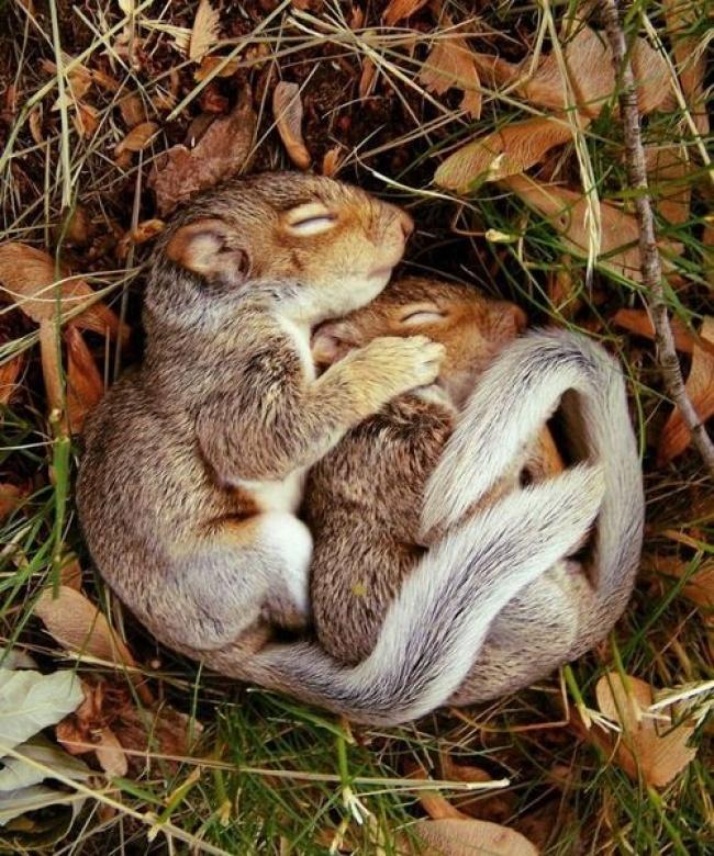 4229505-R3L8T8D-650-sleeping_baby_squirrels