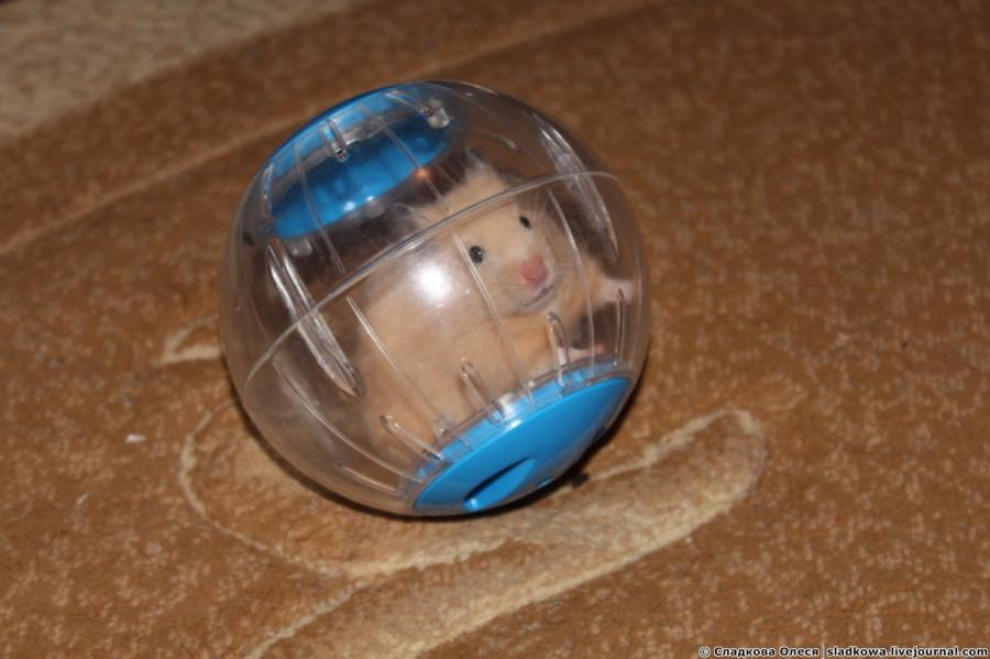 Из чего сделать прогулочный шар для хомяка своими руками